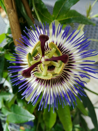 close: Passion flower close view