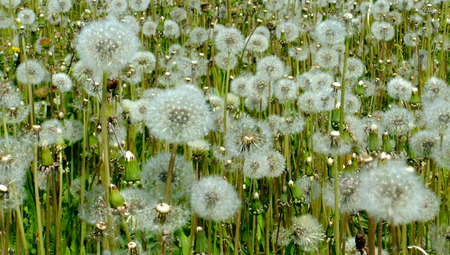 White dandelions on a green field photo