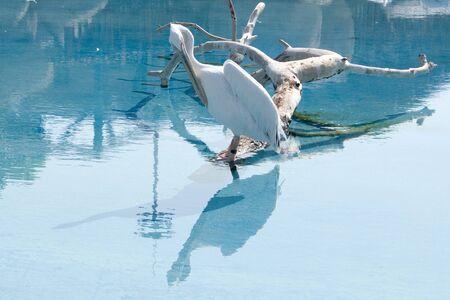 palmiped: Pelicano Stock Photo