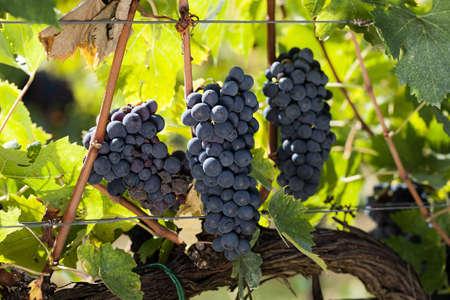 サンジョヴェーゼのブドウの房 写真素材