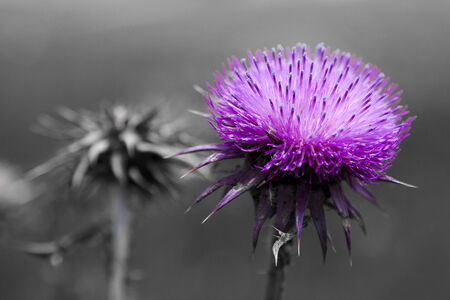 In the foreground a milk thistle flower color purple on a gray background out of focus