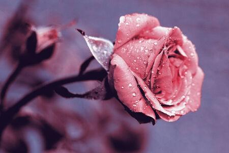 carmine: Rose fiore appena sbocciato, e lo sfondo sfocato una gemma ancora immaturo foto tonica con cobalto e carminio Archivio Fotografico
