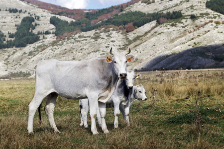 white coat: Cow with white coat and gray breed of Marche and two small calves grazing