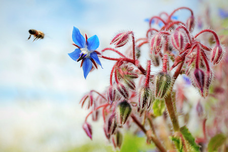 A bee flies to a flower of borage.