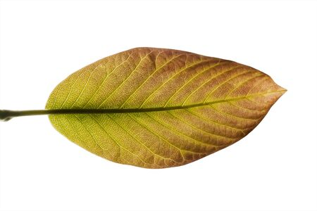 vital: Leaf recovery in transparency on a white background in macro mode. They are visible the flow channels of the vital fluid of the plant. Stock Photo