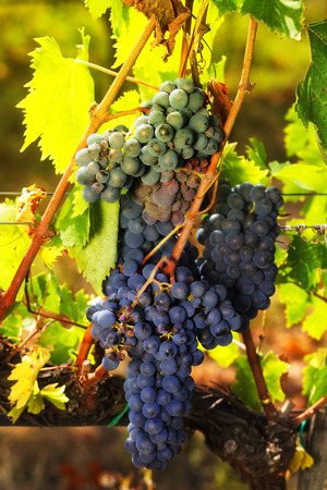 clustered: Bunches of red grapes ripening on the vine, photographed with the light of sunset. Stock Photo