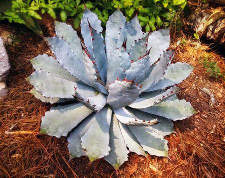 agave: Agave, planta suculenta de origen mexicano extendido por todo el mundo.