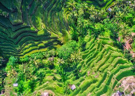 zenith: Cultivated fields of rice in Bali, top view.