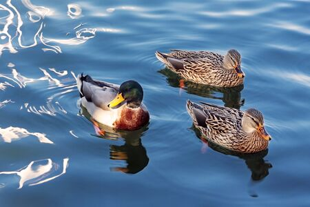 Three ducks in the family Anatidae, one male and two females, they swim in the waters of a lake.