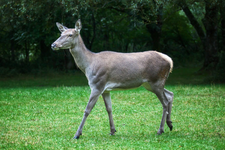 portrait of deer in the wild, in the background the green grass and forest.