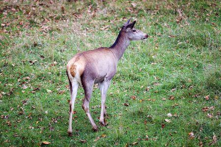 Female deer grazing. Shooting from behind.