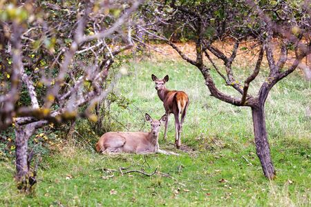 female domination: A female deer and her little rest in the bush, sheltered by tree branches.