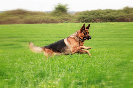 Adult German shepherd running in a green meadow. panning effect