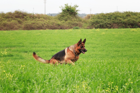 Adult German shepherd running in a green meadow.