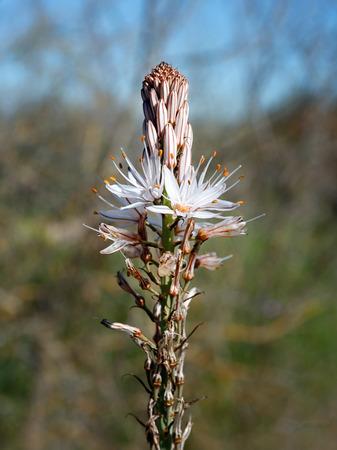 plants species: Asfodelo è un genere di piante della famiglia Liliaceae, che comprende diverse specie erbacee, note genericamente dal nome comune di asfodelo