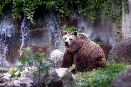 A specimen of brown bear, taken out of profile. Bear sitting, full figure. Stock Photo