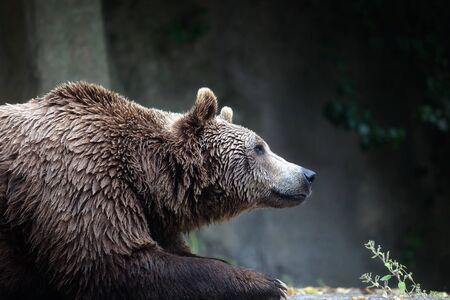 A brown bear male specimen, taken out of profile. Bear lying down, half bust.