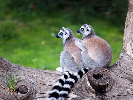 embraced: Two ring-tailed lemurs embraced together on a tree. Big eyes with lively color and classic long-sleeved white-black rings. Stock Photo