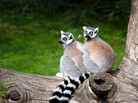 Two ring-tailed lemurs embraced together on a tree. Big eyes with lively color and classic long-sleeved white-black rings. Stock Photo