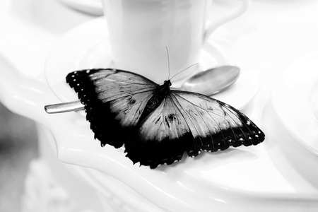 A butterfly is placed on a cup of porcelain for tea. The dark open wings accentuate the contrast with the white background.