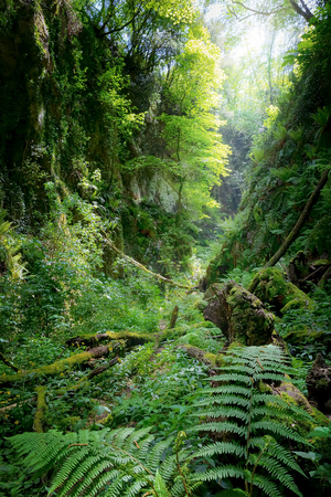 Deep gorge with vertical walls and approached, rich vegetation of ferns, moss and old tree trunks fallen to the ground. The green color dominates and the natural light illuminates the scene from above, creating a magical atmosphere. Banco de Imagens