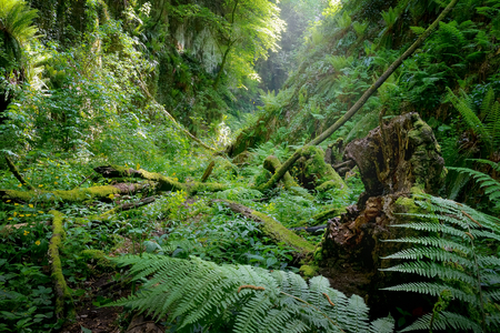 Deep gorge with vertical walls and approached, rich vegetation of ferns, moss and old tree trunks fallen to the ground. The green color dominates and the natural light illuminates the scene from above, creating a magical atmosphere. Stockfoto