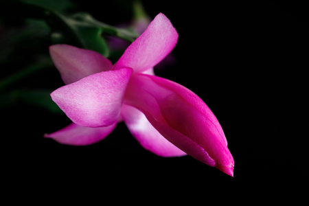Blossoming flower, Christmas cactus. Flower of succulent plant schlumberger isolated on black base. Stock Photo