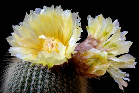 Exquisite yellow cactus flowering Notocactus Leninghausii, in full bloom. Stok Fotoğraf - 132026135