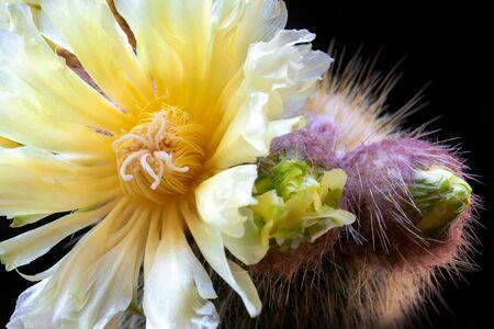 Exquisite yellow cactus flowering Notocactus Leninghausii, in full bloom.