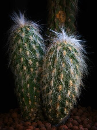 Cactus against black background. Cactaceae plant, arborescent, with branched trunk covered by short radial yellow spines with brown tip. The succulent plant is covered with long white hairs. Stok Fotoğraf - 132025273