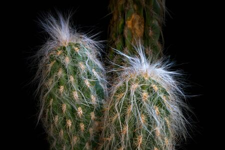 Cactus against black background. Cactaceae plant, arborescent, with branched trunk covered by short radial yellow spines with brown tip. The succulent plant is covered with long white hairs. Stok Fotoğraf - 132024763