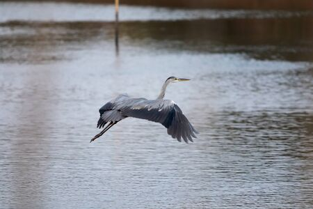 A gray heron flying over the lake in the Mediterranean oasis 写真素材