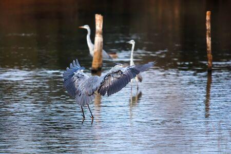 Gray heron in flight, just before landing in the lake of the Mediterranean oasis. Stok Fotoğraf - 132024571
