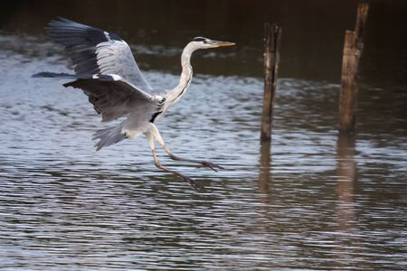 Gray heron in flight, just before landing in the lake of the Mediterranean oasis.