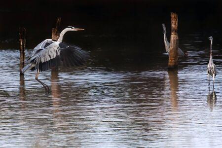 Gray heron in flight, just before landing in the lake of the Mediterranean oasis. Stok Fotoğraf - 132025104