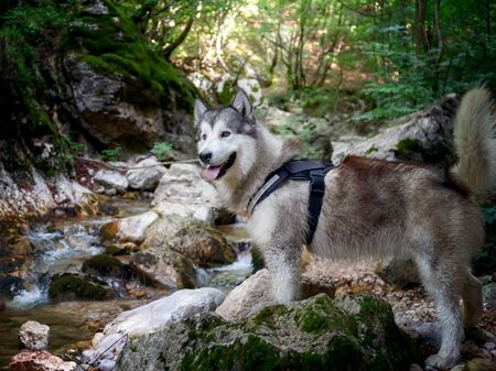 Portrait of Alaskan Malamute dog, on the stream in the forest. Strong and powerful dog, with a majestic bearing, characterized by a thick long fur.