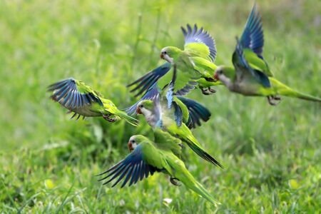 Flock of flying birds. Green and blue parrots stand out in group flight.