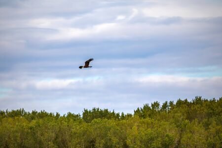 Marsh harrier in flight. The bird of prey in the sky with its wings spread over the vegetation in search of prey 写真素材