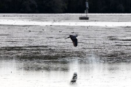 Gray heron in flight over the lakes water. Wing reflection on the water.