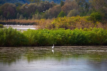 White heron in the green oasis of the lake in a lake area rich in vegetation. On the panoramic background of the natural oasis. Stok Fotoğraf - 133223844