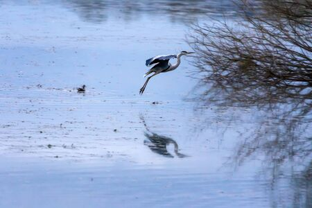 Heron landing on the water surface in a lake area. The gray heron of the Ardeidae family shows its profile with spread wings, which is also reflected on the surface of the water.