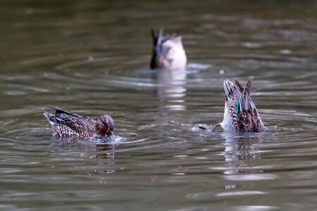 Group of ducks intent on catching sediments and small prey that they catch by dipping their heads in the muddy bottom of lakes or lake areas. The Alzavola belongs to the Anatidae family and is a duck with extremely variegated and sparkling plumage. Stok Fotoğraf - 133277048