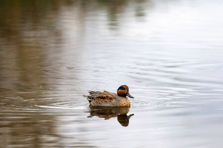 Duck swims on the surface of the water in search of food. The Alzavola belongs to the Anatidae family and is a duck with extremely variegated and shimmering plumage, which reveals its true nature in contact with water, where it proves to be agile and fast. Stok Fotoğraf - 133277022