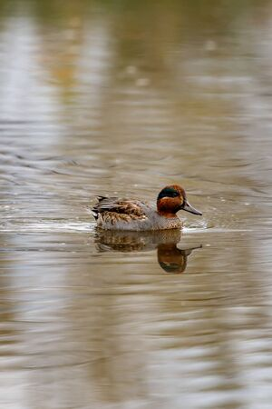 Duck swims on the surface of the water in search of food. The Alzavola belongs to the Anatidae family and is a duck with extremely variegated and shimmering plumage, which reveals its true nature in contact with water, where it proves to be agile and fast. Stok Fotoğraf - 133276205