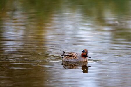 Duck swims on the surface of the water in search of food. The Alzavola belongs to the Anatidae family and is a duck with extremely variegated and shimmering plumage, which reveals its true nature in c