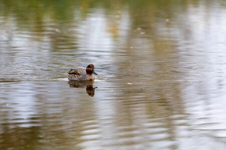 Duck swims on the surface of the water in search of food. The Alzavola belongs to the Anatidae family and is a duck with extremely variegated and shimmering plumage, which reveals its true nature in contact with water, where it proves to be agile and fast. Stok Fotoğraf - 133276331