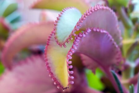 close-up of two succulent leaves, with jagged edges of pink color at the edges and yellow in the central part.