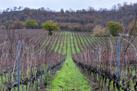 Field cultivated with vines for the production of wine. Vines pruned and without grapes arranged in rows, in the winter season.