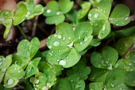 Macro photography of clover plant, close-up of leaves wet by dew.