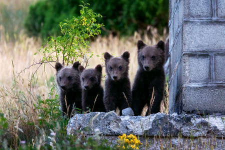 Marsican bear cubs, a protected species typical of central Italy. Animals in the wild in their natural habitat, in the Abruzzo region of Italy.